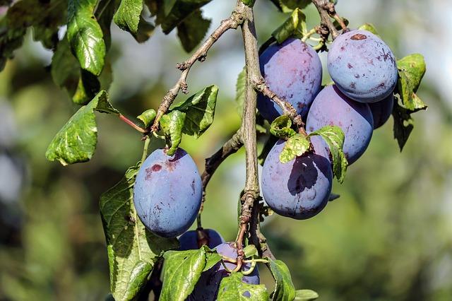 Proč pěstovat vlastní ovoce