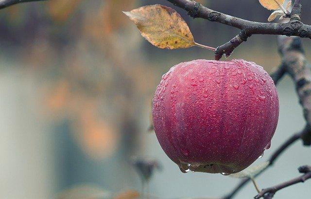 jablko visící na stromě